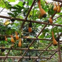 南瓜要怎么种才能高产 南瓜的种植方法和注意事项