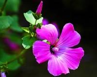 锦葵的花语与象征意义以及锦葵花的