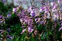 玉簪花花语和传说以及玉簪花的风水