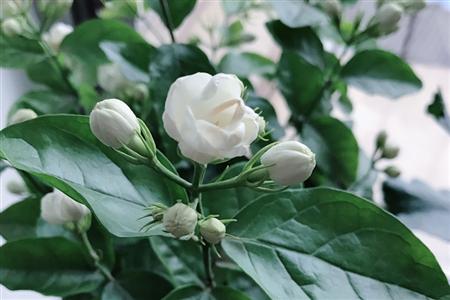茉莉花常见的病虫害及其防治方法,保护好清香茉莉