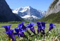 龙胆花的五大养护技巧与方法,养出好看的龙胆花