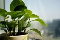 除甲醛的4种植物,第2种最好,除甲醛之王当之无愧