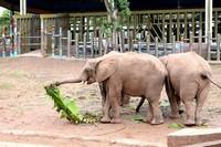 非洲有一种神奇的水果,一头大象吃啦都能醉倒