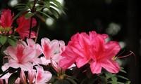 杜鹃花的花语和寓意,杜鹃花被誉为花中西施
