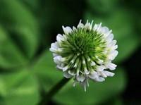 白车轴草种植栽培方法与技术以及越冬管理方法