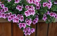 天竺葵可以放在卧室吗?有没有毒?植物