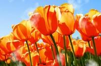 橙色郁金香的花语代表含义,永恒的爱和美好的回忆