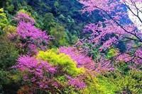 香港市花,紫荆花的花语以及传说,快看看你都知道吗?
