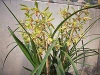 蕙兰花的栽培管理方法,价格最高的国兰品种