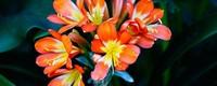君子兰的种植方法,君子兰的栽培方法