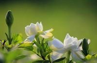 栀子花怎么繁殖?有性生殖和无性生殖