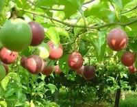 百香果正确的种植方法你掌握了吗?比较实用的百香果种植方法