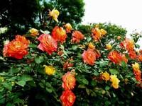 """这样的栽培技术,种出最完美的月季花,有""""花中皇后""""的美誉"""