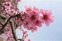 桃花常见虫害以及防治方法,常见的观