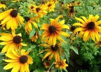 黑心菊的养护方法与技巧以及养护黑