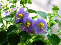 紫芳草的种植栽培方法以及紫芳草的