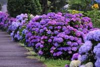 绣球花的栽培种植和价值分别是什么?栽培花卉能修身养性