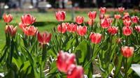郁金香的种植栽培方法,施肥千万不能