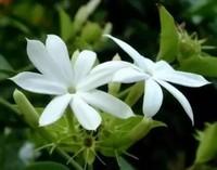 如何养殖茉莉花 茉莉花的养殖方法和注意事项你知道吗?