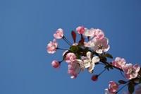 海棠花的花语及象征寓意,内心的感情