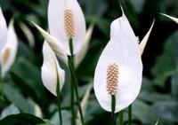 白鹤芋的种植栽培方法,白鹤芋为材料盆栽试验