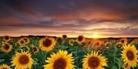 向日葵的花语和寓意有哪些?适合送什么人?