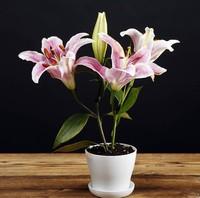 百合花怎么养,百合花盆栽养殖管理