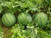 西瓜种植技术,掌握一些注意事项,这样才能把西瓜种得更好