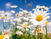 雏菊的花语是什么,关于雏菊的传说