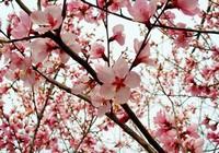 桃花最适宜生长环境以及养护技巧,必