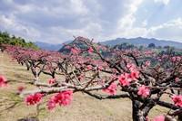 桃花的功效与作用及食用方法,桃花
