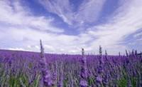 薰衣草常见的病虫害以及病虫害的防