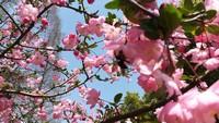 盆栽桃花的种植栽培技术,桃花历史悠