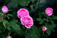 月季花的花期怎么护理,花期养护最重要的就是温度
