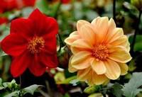 小丽花种子的种植栽培方法以及种植栽培的注意事项