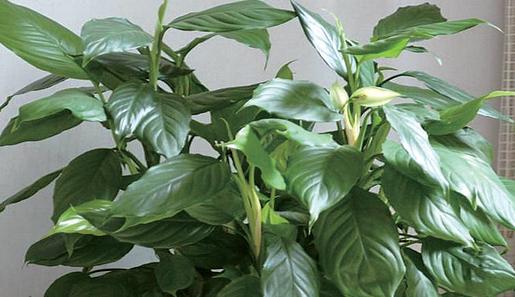 日常生活中常见的这些植物竟然有毒?快来看看提前预防吧