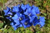 龙胆花的花语以及象征代表的意义,爱上美丽的田维