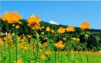 金莲花的花语和传说故事,不适合送人