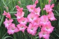 唐菖蒲的四大功效与作用,植物的球茎
