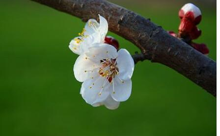 盆栽杏花的养护方法和技巧,快来看看