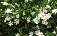 三种好种植又还能泡茶的花,清热解毒又提神