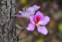 紫荆花常见的病虫害及防治方法,提前预防和管理,快来看看吧