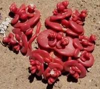 超级奇葩的多种多肉植物,颠覆了你对于传统植物的印象