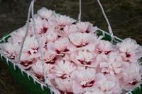家里养上几盆木槿花,不仅可以用来欣赏,竟然还可以拿来食用?快来看看你都知道吗?