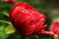 牡丹花怎么栽培,牡丹花为什么春天栽种不易成活