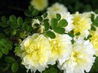 木香花有毒吗?木香花的病虫害,花香